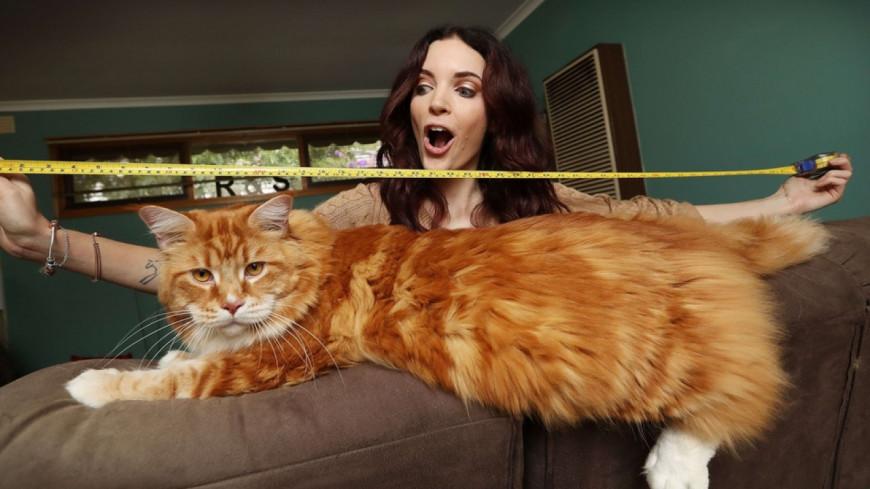 (Vidéo) Omar, certainement le plus gros chat du monde.