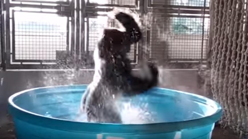 Insolite : Un gorille s'éclate dans une petite piscine.